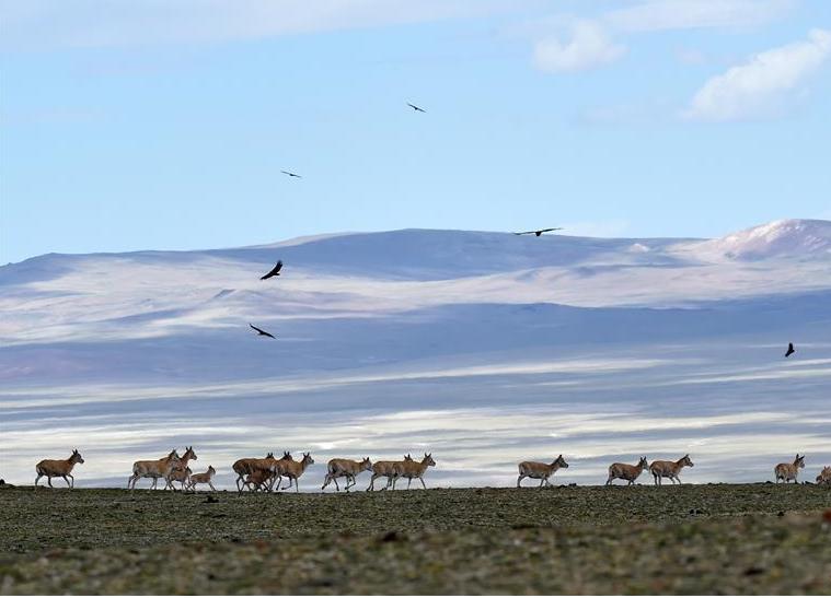 羌塘自然保護區:悠閒的藏羚羊(圖)