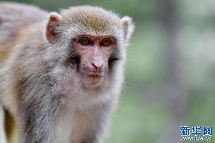 雅魯藏布江畔藏獼猴(圖)